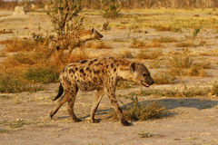 African Spotted Hyena. A highly successful animal Africa's most common predator  Also known as the laughing hyena Royalty Free Stock Image