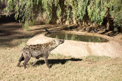 African Spotted Hyena. Large African Spotted Hyena sniffing around for food Royalty Free Stock Photos