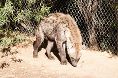 African Spotted Hyena Stock Photos
