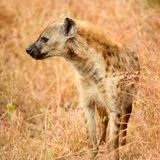 African Spotted Hyena on a South African Safari stock images