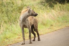 African Spotted Hyena on a South African Safari. Photographed on an game drive in a South African game reserve Stock Photography