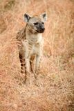 African Spotted Hyena on a South African Safari. Photographed on an game drive in a South African game reserve Stock Images