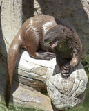 An African Spotted-Necked Otter Appears to be Praying Stock Photo