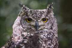 African spotted owl Stock Images