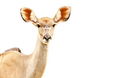 African Springbok Isolated Royalty Free Stock Photos