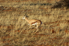 Springbok running. Springbok quick running in Etosha national park, Namibia Africa, dry season Stock Photos