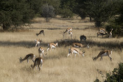 African springboks. Herd of grazing african springboks in Etosha National Park, Namibia, Africa Stock Photo