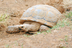 African Spur Thigh Turtle Royalty Free Stock Images