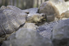 African spurred toirtoise. African spurred tortoise, close up head Stock Image