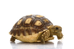 African Spurred Tortoise Stock Images
