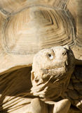 African Spurred tortoise Stock Image
