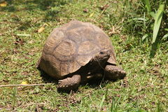 African spurred tortoise Royalty Free Stock Photography