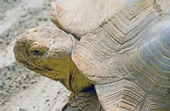 African Spurred Tortoise 3 Royalty Free Stock Photography