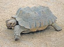 African spurred Tortoise 4 Stock Photos