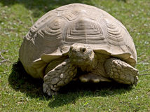 African spurred tortoise 6 Royalty Free Stock Images