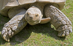African Spurred Tortoise 7 Stock Image