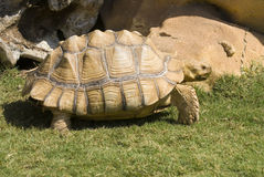 African Spurred Tortoise Royalty Free Stock Image