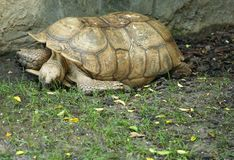 African Spurred Tortoise. African tortoise laying down on the ground resting Stock Photography