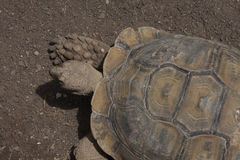 African spurred tortoise. Big african spurred tortoise on a ground Royalty Free Stock Image
