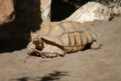 African Spurred Tortoise - Centrochelys sulcata Royalty Free Stock Photo