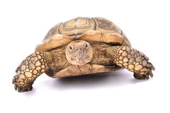 African spurred tortoise,Centrochelys sulcata Royalty Free Stock Image