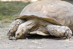 African spurred tortoise (Centrochelys sulcata) Stock Images
