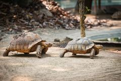 African spurred tortoise / Close up turtle walking royalty free stock image