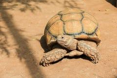 African spurred tortoise closeup. Stock Photos