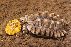 African Spurred Tortoise eat a pumpkin Royalty Free Stock Images