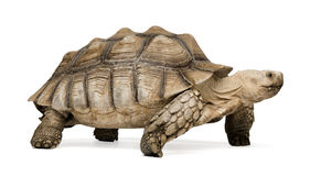 African Spurred Tortoise - Geochelone sulcata. African Spurred Tortoise also know as African Spur Thigh Tortoise - Geochelone sulcata in front of a white Stock Image
