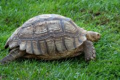 African spurred tortoise Geochelone sulcata. In the grass stock photo