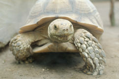 African spurred tortoise or geochelone sulcata Royalty Free Stock Image