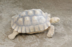 African spurred tortoise or geochelone sulcata Royalty Free Stock Photos