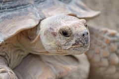 African spurred tortoise. (geochelone sulcata), also called spur thigh, portrait royalty free stock images
