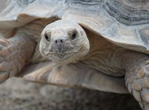 African spurred tortoise. (geochelone sulcata), also called spur thigh, portrait royalty free stock photo