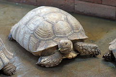 African spurred tortoise or geochelone sulcata Royalty Free Stock Photography
