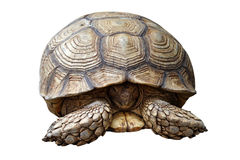 African spurred tortoise or geochelone sulcata isolated on white Stock Images