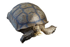 African spurred tortoise or geochelone sulcata Stock Image