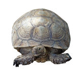 African spurred tortoise or geochelone sulcata Royalty Free Stock Photo