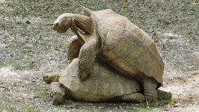 African spurred tortoise (Geochelone sulcata) mating. stock footage