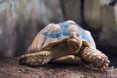 African Spurred Tortoise Geochelone sulcata. Natural background image Royalty Free Stock Photos