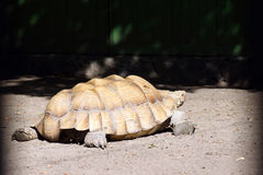 African spurred tortoise Stock Photos