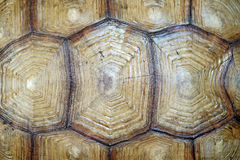 African spurred tortoise or geochelone sulcata shell Royalty Free Stock Image
