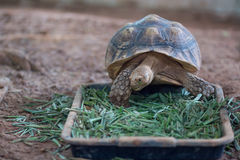 African Spurred Tortoise Geochelone sulcata. Eating grass Stock Photography