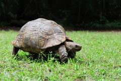 African Spurred Tortoise in grass Royalty Free Stock Image