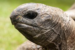 African Spurred Tortoise head Royalty Free Stock Images