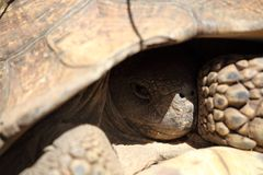 African spurred tortoise Royalty Free Stock Photo