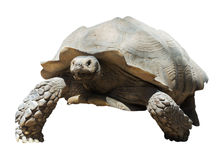 African spurred tortoise Royalty Free Stock Images