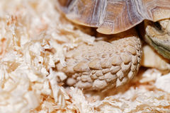 African Spurred Tortoise Stock Photography