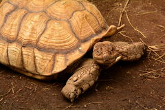 African Spurred Tortoise portrait Stock Photos